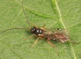 Phygadeuon sp.