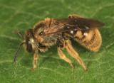 Lasioglossum bruneri