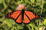 Monarch - Danaus plexippus (male)