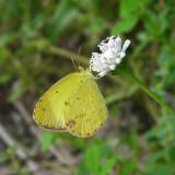 Little Yellow - Eurema lisa