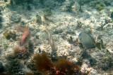 Spotted Goatfish (Pseudopeneus maculatus), Slippery Dick (Halichoeres bivittatus), & Ocean Surgeonfish (Acanthurus bahianus)