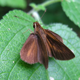 Northern Faceted skipper - Synapte pecta