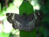 Glassy-winged Skipper - Xenophanes tryxus
