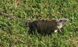 Black Iguana - Ctenosaura similis