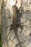 Lundell's Spiny Lizard - Sceloporus lundelli