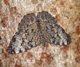 Guatemalan Cracker - Hamadryas guatemalena