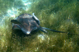 Southern Stingray - Dasyatis americana
