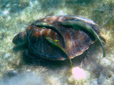 Green Turtle - Chelonia mydas (with Remora fish)