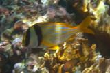 Porkfish - Anisothremus virginicus
