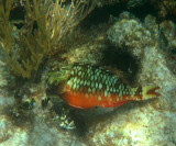 Stoplight Parrotfish - Sparisoma viride (female)