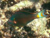 Stoplight Parrotfish - Sparisoma viride (male)