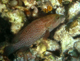Red Hind - Epinephelus guttatus