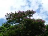 Baalche'  (Maya), Lonchocarpus longistylus