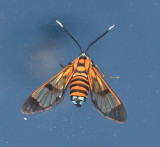 Gymnelia ethodaea