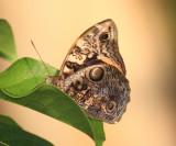 Split-banded Owlet - Opsiphanes cassina