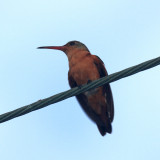 Cinnamon Hummingbird - Amazilia rutila