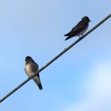 Ridgway's Rough-winged Swallow - Stelgidopteryx ridgwayi