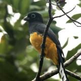 Black-headed Trogon - Trogon melanocephalus
