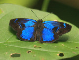 Brilliant Blue Skipper - Paches loxus (male)