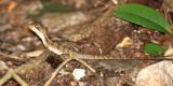 Brown Basilisk Lizard - Basiliscus vittatus