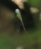 Caribbean Darner - Triacanthagyna caribbea?