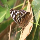 Whitened Bluewing - Myscelia cyaniris