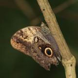 Yellow-fronted Owl Butterfly - Caligo telamonius