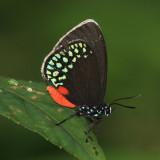 Mexican Cycadian - Eumaeus toxea