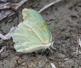 White Angled-Sulphur - Anteos clorinde