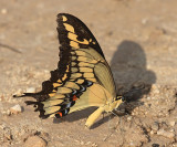 Giant Swallowtail - Papilio cresphontes