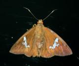 Freeman's Scarlet-eye - Bungalotis milleri