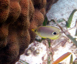 Four-eyed Butterflyfish - Chaetodon capistratus