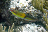 Yellow-headed Wrasse - Halichoeres garnoti