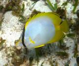Spotfin Butterflyfish - Chaetodon ocellatus
