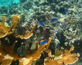 Blue Chromis - Chromis cyaneus