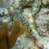 Harlequin Bass - Serranus tigrinus