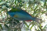 Redband Parrotfish - Sparisoma aurofrenatum