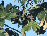 Black-headed Saltator - Saltator atriceps