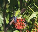 Fork-tailed Emerald - Chlorostilbon canivetii