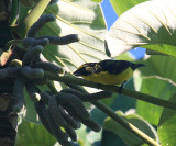 Yellow-throated Euphonia - Euphonia hirundinacea