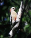 Yucatan Woodpecker - Melanerpes pygmaeus