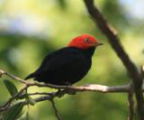 Red-capped Manakin - Pipra mentalis