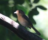 Gray-throated Chat - Granatellus sallaei