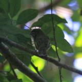 Eye-ringed Flatbill - Rhynchocyclus brevirostris
