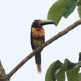 Collared Aracari - Pteroglossus torquatus