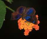 Brilliant Blue Skipper - Paches loxus (male)