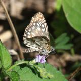 Tropical Checkered-Skipper - Pyrgus oileus