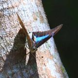 Two-spotted Prepona - Archaeoprepona demophoon gulina