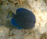 Blue Tang - Acanthurus coeruleus