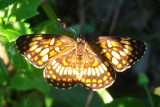Fulvia Checkerspot - Chlosyne fulvia